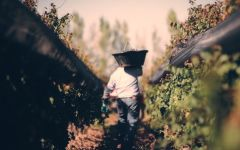 Durigutti Harvest Time in the Vineyard Winery Image
