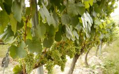 Amizade Godello grapes in the month of August Winery Image