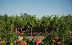 Accendo Cellars Summer Time in Napa Valley Winery Image