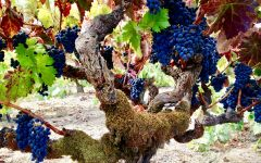 Carlisle Zinfandel Vine at Carlisle Vineyard Winery Image
