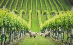 Yealands Babydoll Sheep in vineyard row Winery Image