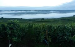 Besserat de Bellefon Fog in Besserat de Bellefon's Vineyard Winery Image