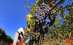 Damilano Harvest at Damilano Winery Image