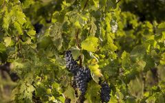 La Forge Estate Grenache Grapes Winery Image