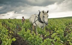 Louis Roederer Horse-drawn plow in the vineyards Winery Image