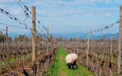 Lapostolle Animals grazing in Lapostolle Vineyards Winery Image