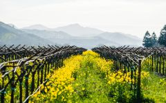 Heitz Cellar Trailside Vineyard in Spring, Rutherford Winery Image