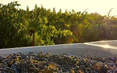 Hayfork Wine Co. Harvest at Hayfork Winery Image