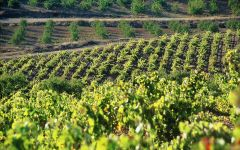 Evodia Garnacha Vineyards in Altea Winery Image