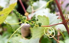 Durigutti Grape Shoot and Bud Winery Image