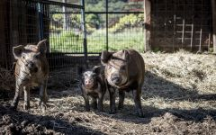 Quivira Vineyards Hogs at Quivira's Winery Winery Image