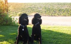 Eberle Winery Poodles Winery Image
