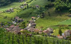 Tiamo The Lush Prosecco Vines of Valdobbiadene Winery Image