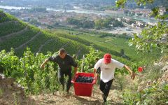 Delas Freres Harvest in the Rhone Valley Winery Image