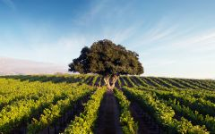Hahn Winery Santa Lucia Highlands Lone Oak Vineyard Winery Image