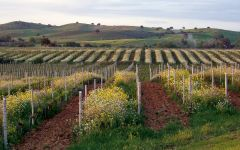 Querciabella Cover crops at Querciabella Vineyards Winery Image