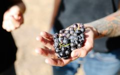 Bonny Doon Grapes from the Popelouchum Vienyard Winery Image
