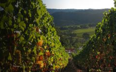 Vineyard 29 Overlooking Napa Valley During Harvest Winery Image