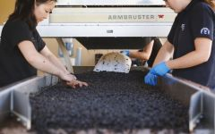 Gary Farrell Hand Sorting the Pinot Noir Harvest Winery Image