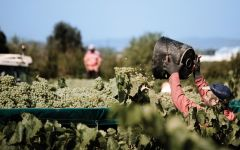 Poema Harvest at Poema in Penedes, Spain Winery Image