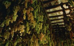 Badia a Coltibuono Grapes Drying Winery Image