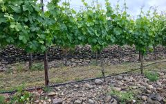 Carlisle Terraced Grüner at Steiner Vineyard Winery Image
