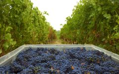 Concha y Toro Grape Harvest Winery Image