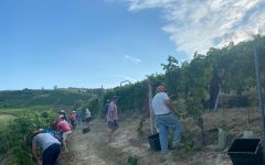 Saracco Harvesting the 2020 Vintage at Saracco Winery Image