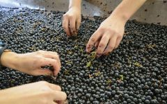 Petrolo Hand Sorting Grapes Winery Image