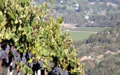 Kunde Estate Winery Vines Ripening on the Steep Slopes Winery Image