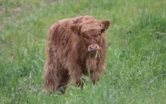 Benziger Family Winery Scottish Highlander Cattle Winery Image