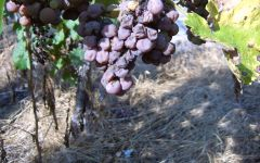 S.A. Prum Riesling grape on the vine with BA & TBA Winery Image