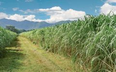 Diplomatico Sugarcane Field Winery Image