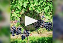 Chateau du Moulin a Vent Winery Video